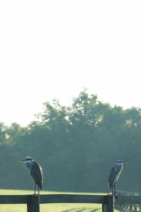 We spotted great blue herons early one morning.