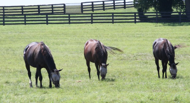 Zenyatta and paddock mates, including Life Is Sweet, post weaning. Photo by Alys Emson/Lane's End
