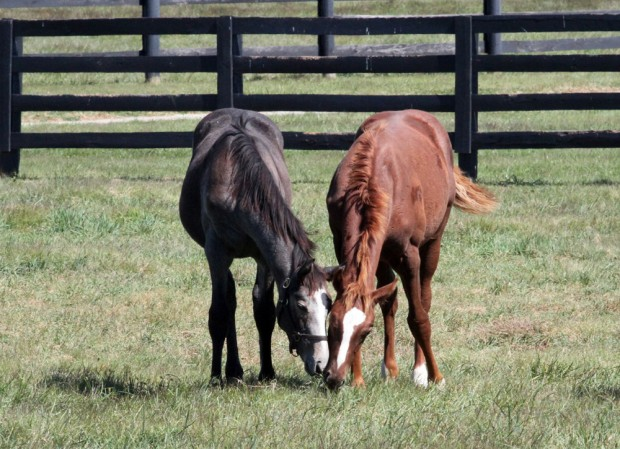 13Z with his buddy, 13 Life Is Sweet! Photo courtesy of Alys Emson/Lane's End.