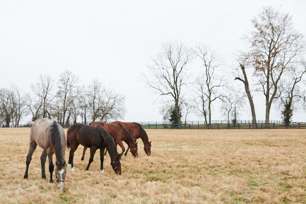 17Z and her paddock mates at Lane's End Farm, December 2017.